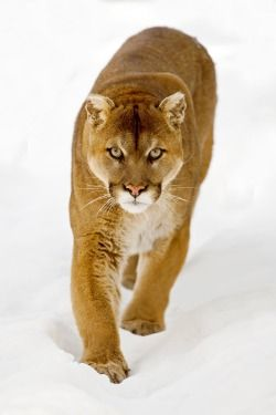 COUGAR by Peter K Burian