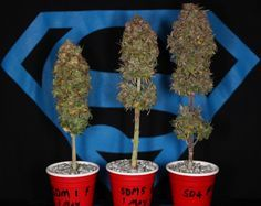 Stunted Art - cannabis micro grow & Stunted Art - cannabis micro grow | gdd | Pinterest | Cannabis