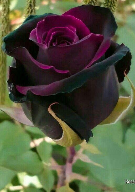 Zweifarbige – Bicolor #schöneblumen