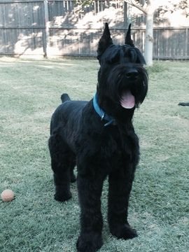 Litter Of 9 Schnauzer Giant Puppies For Sale In Forney Tx Adn