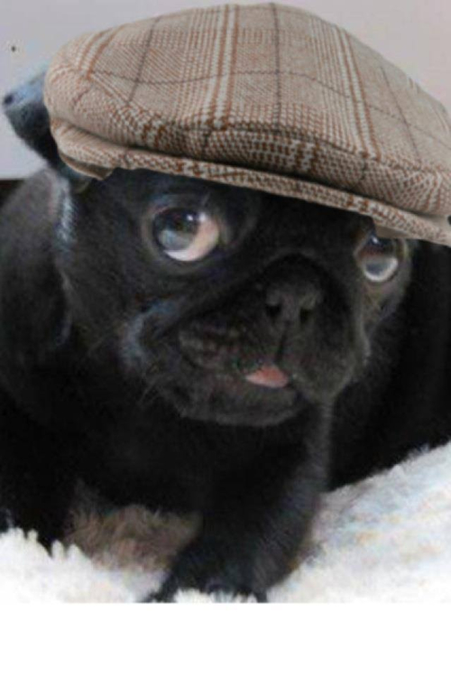 c4d878ca480 Pug with a hat     pug - puppy