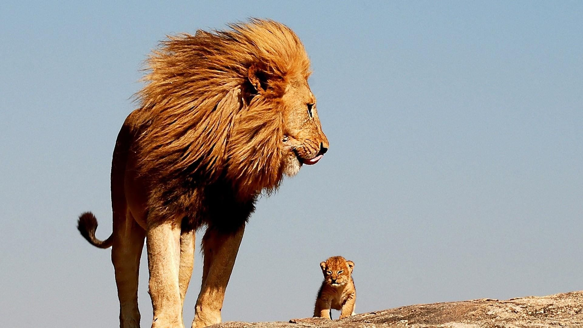 Lion Cute Baby Lion King Father 1080p Wallpaper Hdwallpaper Desktop Lion Lion King Lions