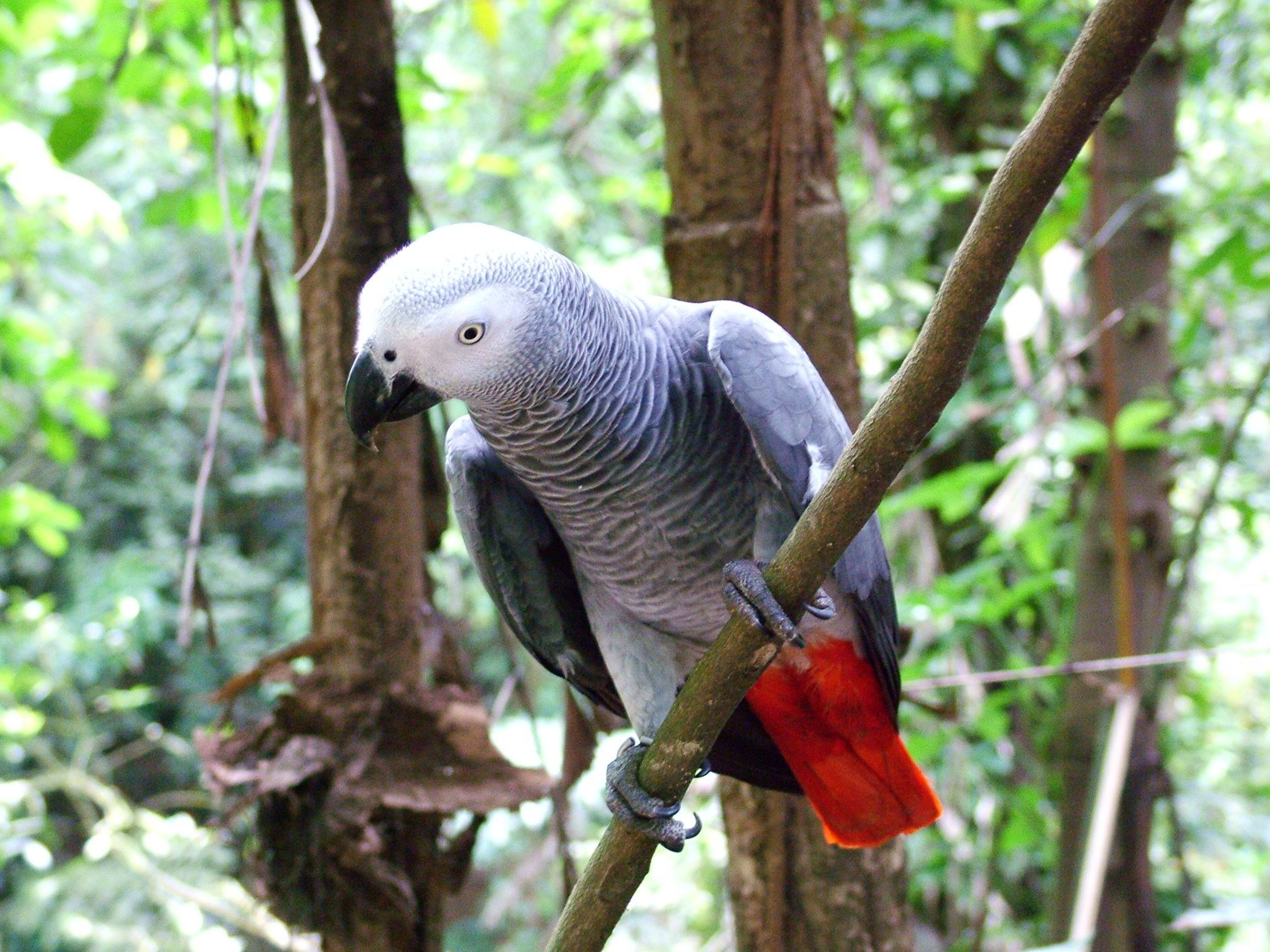 Congo African Grey Parrot In A Bird Park