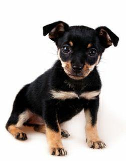 Fotos de cachorro da raca pinscher 2