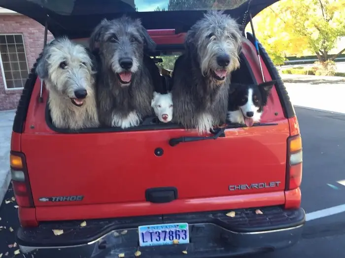 50 Photos people have posted of their Irish Wolfhounds
