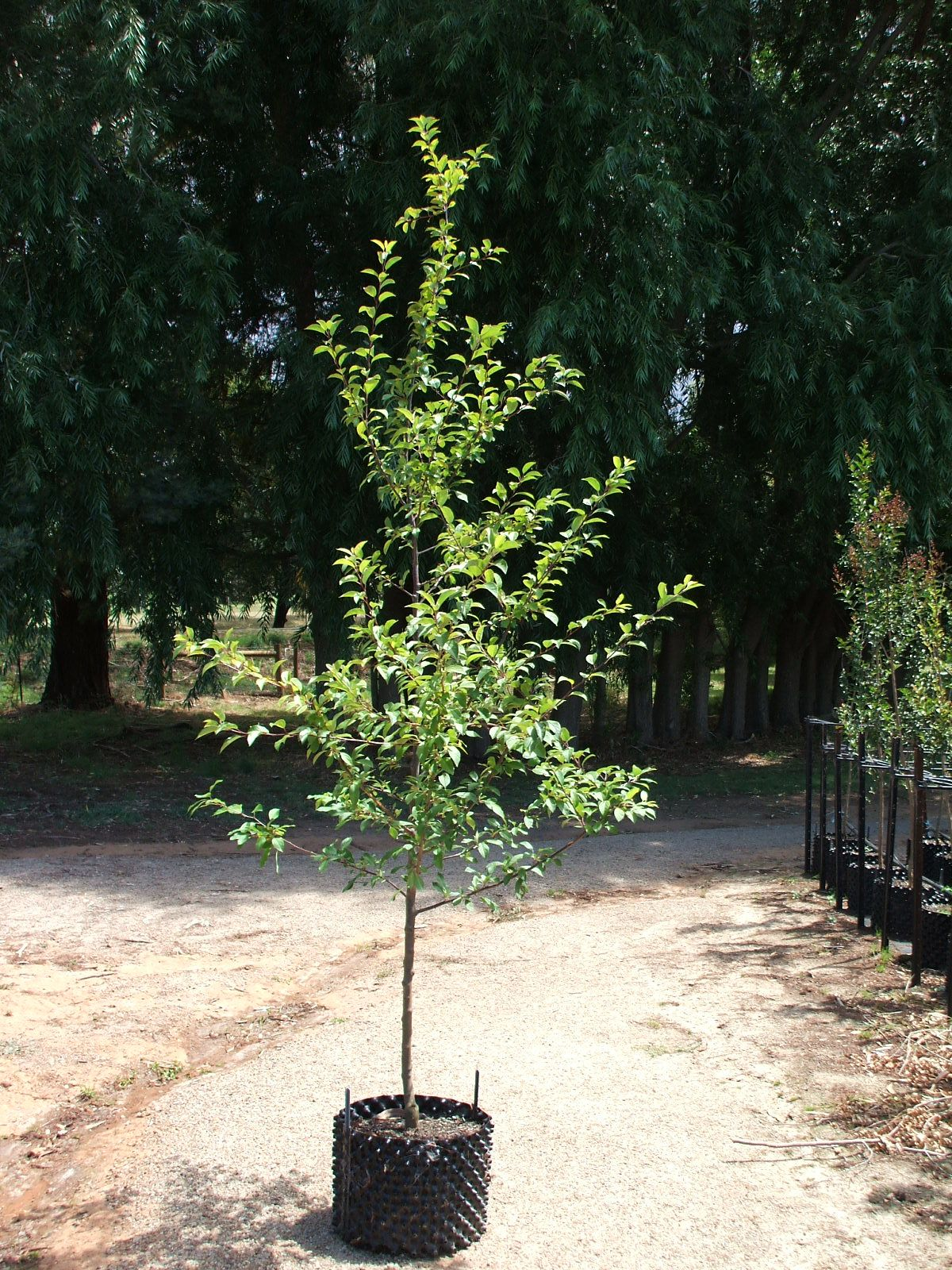 Malus Floribunda Size Height 5m Spread 5m Habit Small Tree With