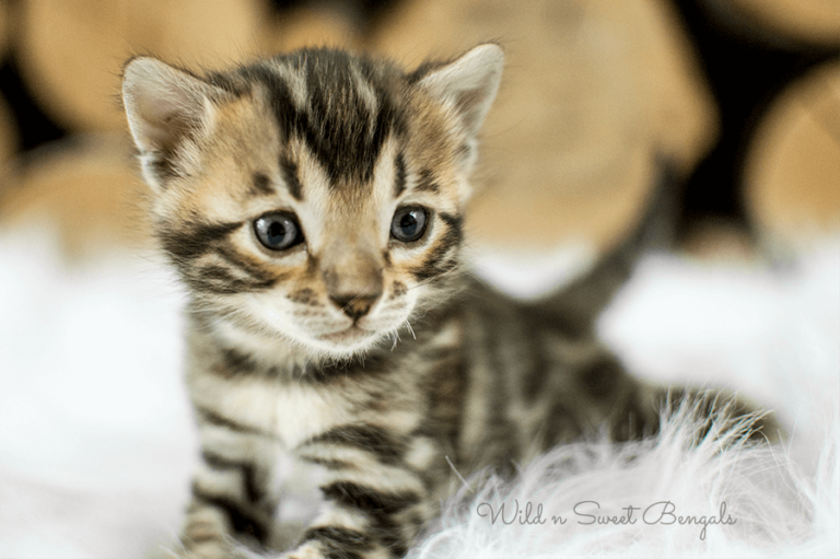 Bengal Kittens Cats For Sale Near Me Bengal Kitten Asian Leopard Cat Bengal Kittens For Sale
