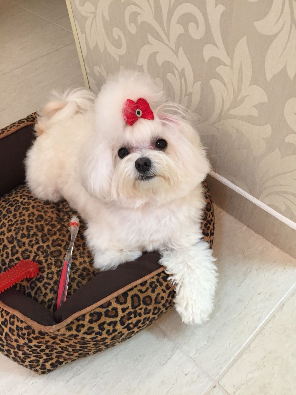 Time To Brush My Teeth Cute Cats Dogs Maltese Dogs Cute Dogs