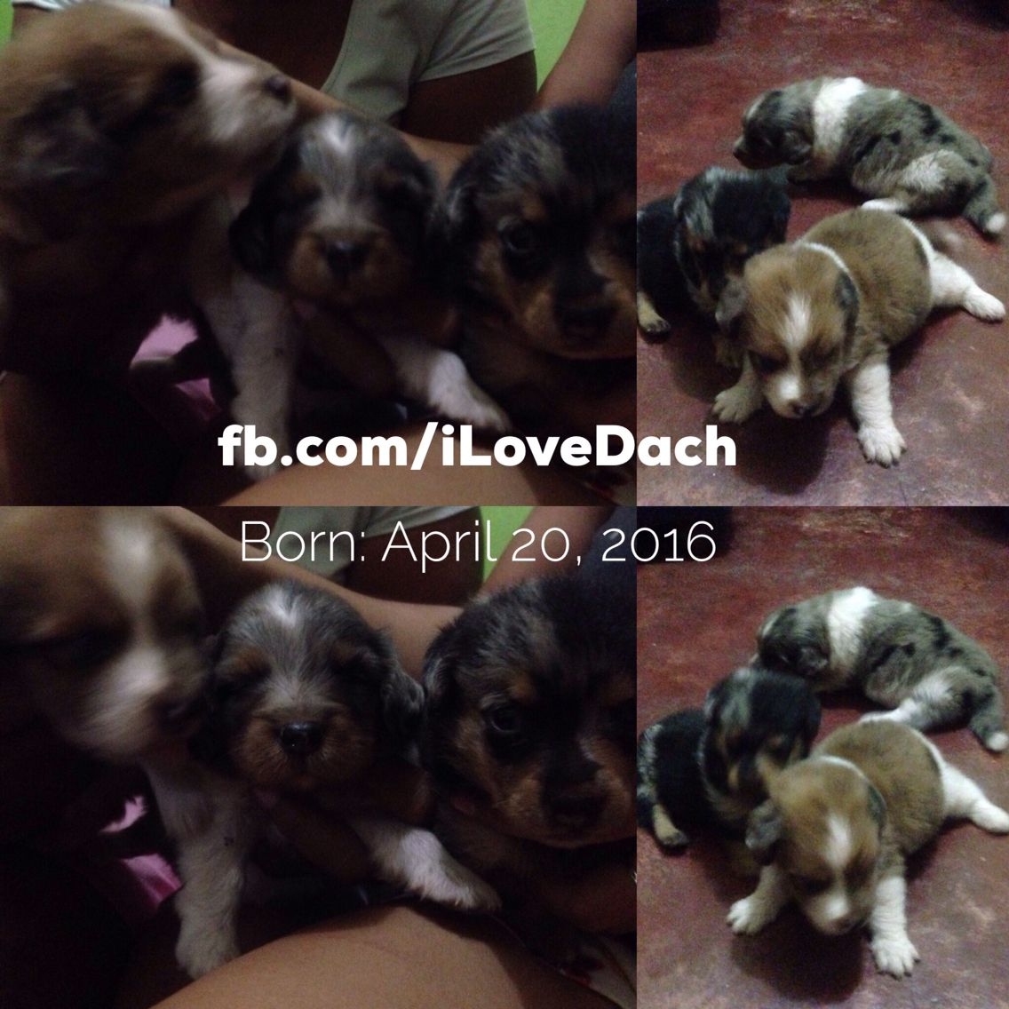 For Sale Dachshund Puppies Location Butuan City For Inquiries Message Us At Www Fb Com Ilovedach Shoppingph Onlineshoppin Dachshund Puppies Butuan City