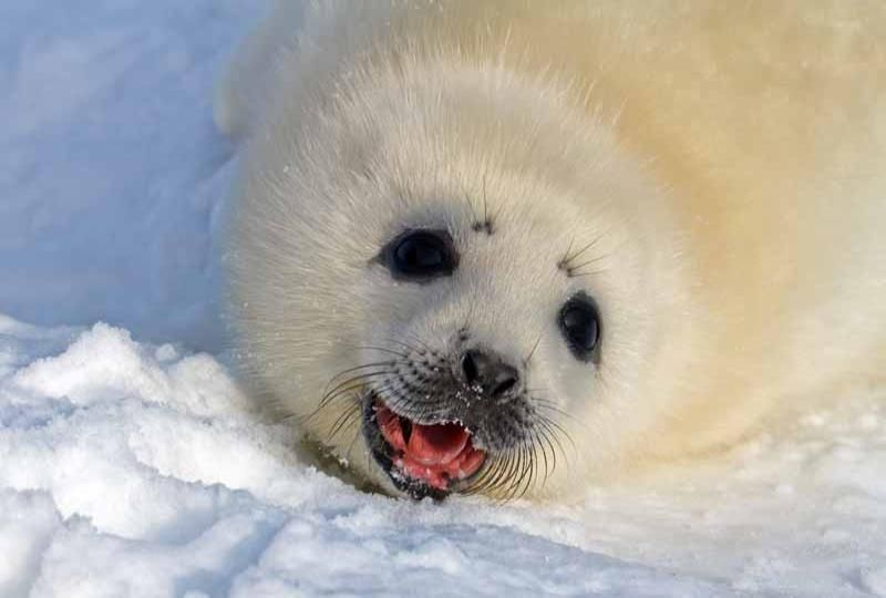 Harp Seal Pups (With images) | Harp seal pup, Seal pup ...