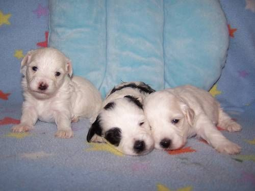 Maltipoo Dogs Cute Cute Animals Puppies Dogs
