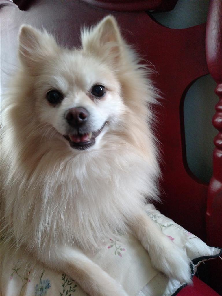 Back Home Dog Pomeranian Toy Mount Dora Fl Usa 32757 With