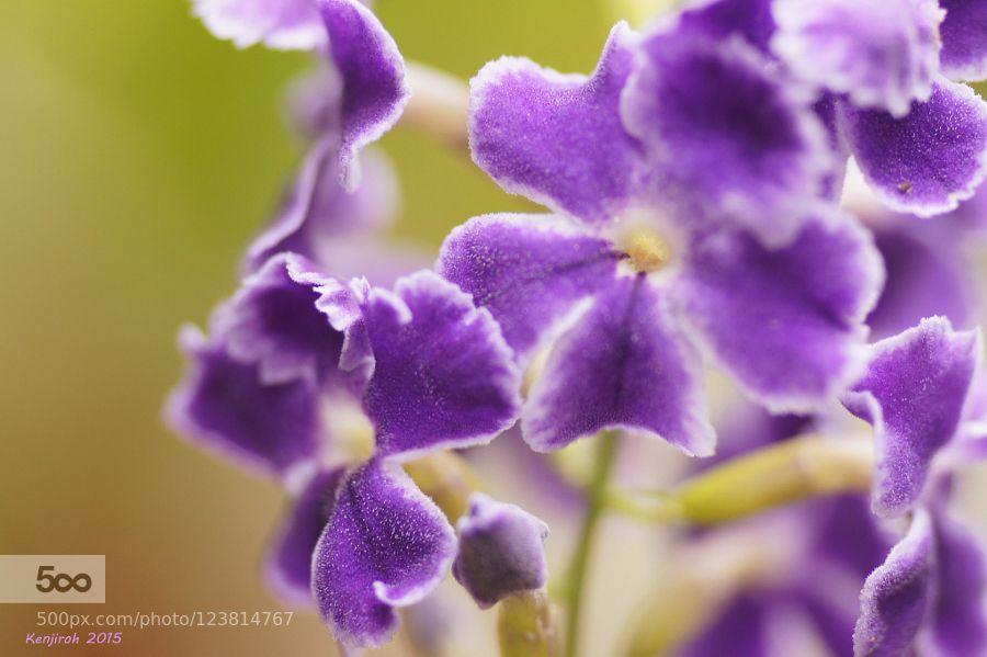 Purple butterfly ??  by KenjirohTukiyama. Please Like http://fb.me/go4photos and Follow @go4fotos Thank You. :-)