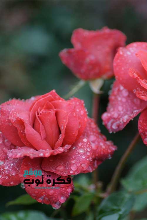 أجمل صور زهور طبيعية خلفيات ورود جميلة جدا جودة عالية Hd 8 Flowers Rose Beautiful Flowers