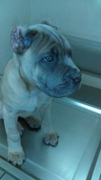 Litter Of 2 Cane Corso Puppies For Sale In Las Vegas Nv Adn