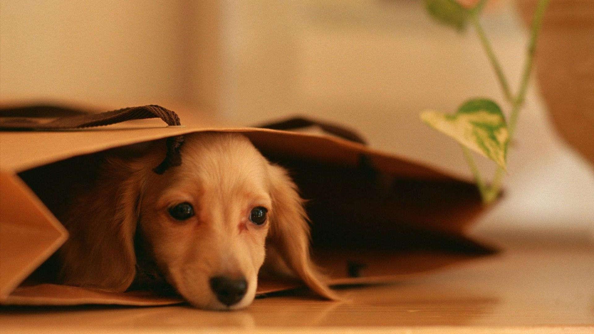 Hiding Dachshund Puppies HD Wallpaper