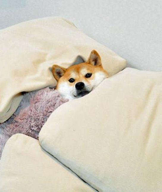 Resultado de imagen para shiba inu sleeping
