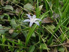 Chionodoxa luciliae - Plant Finder