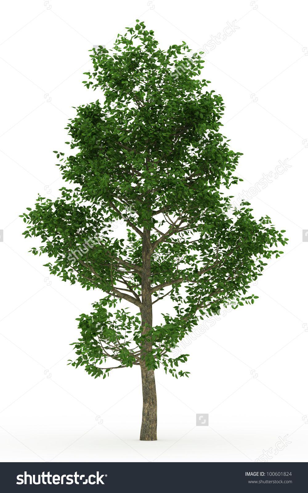 Oak trees google search trees pinterest oak tree