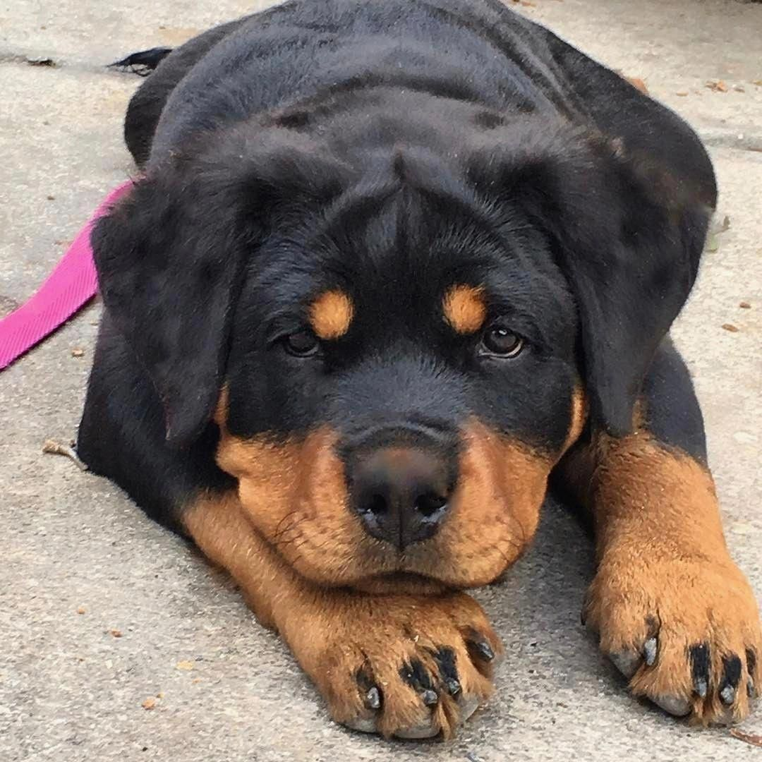 Rottweiler Loving Confident And Loyal Rottweiler Dog