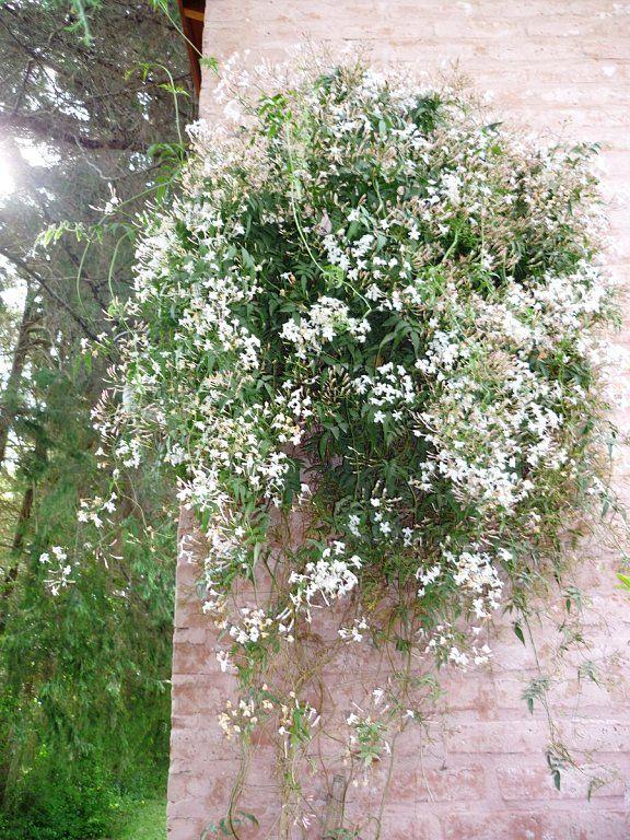 olfato y vista: jazmin | sentidos | pinterest | gardens