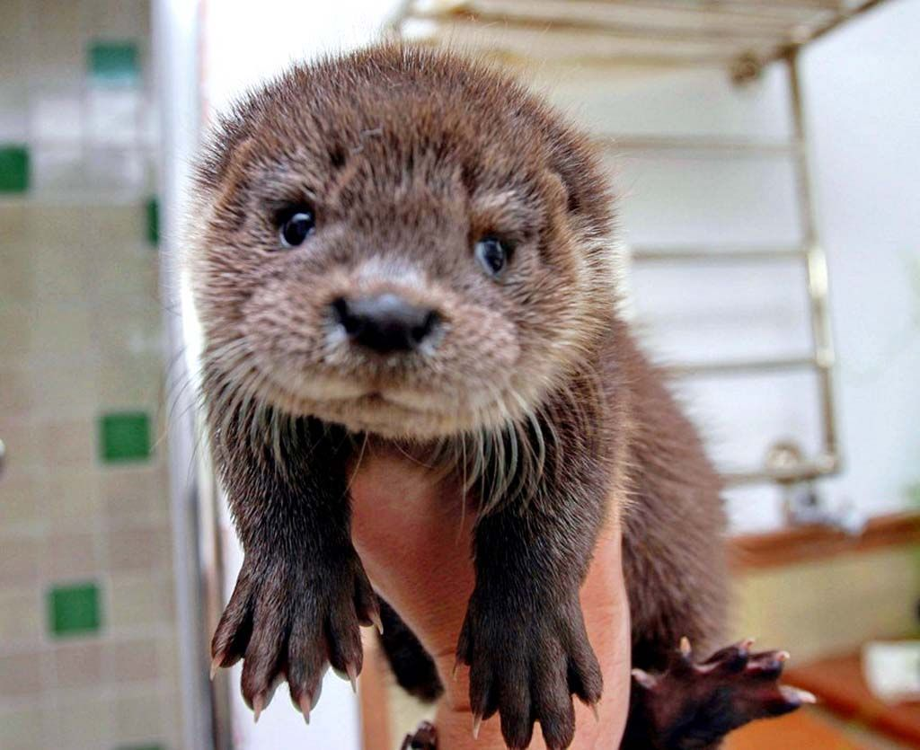 sea otter fur is the finest of any mammal consisting of