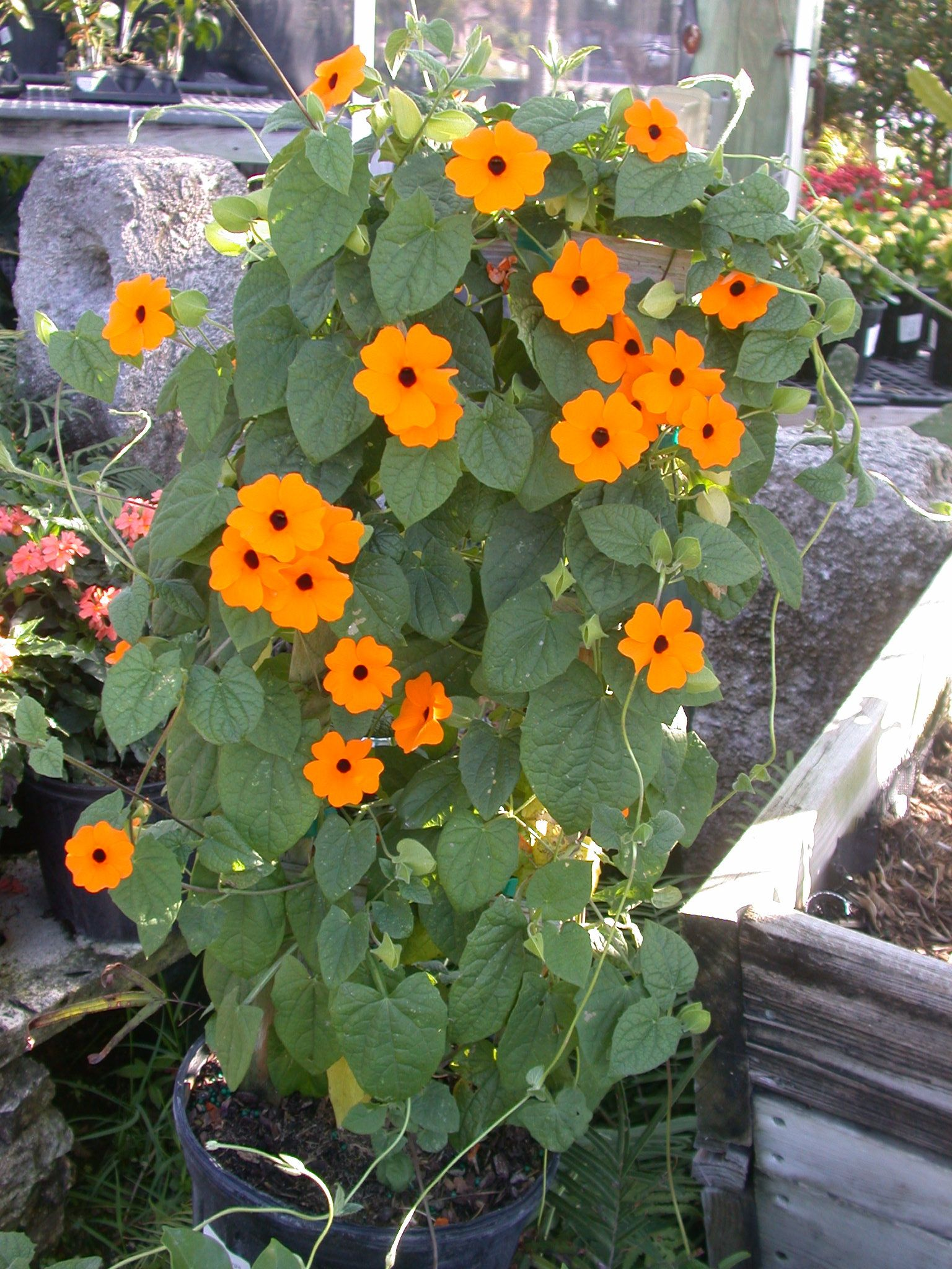 Thunbergia Orange Beauty Is A Climbing Vine That Can Do Well In