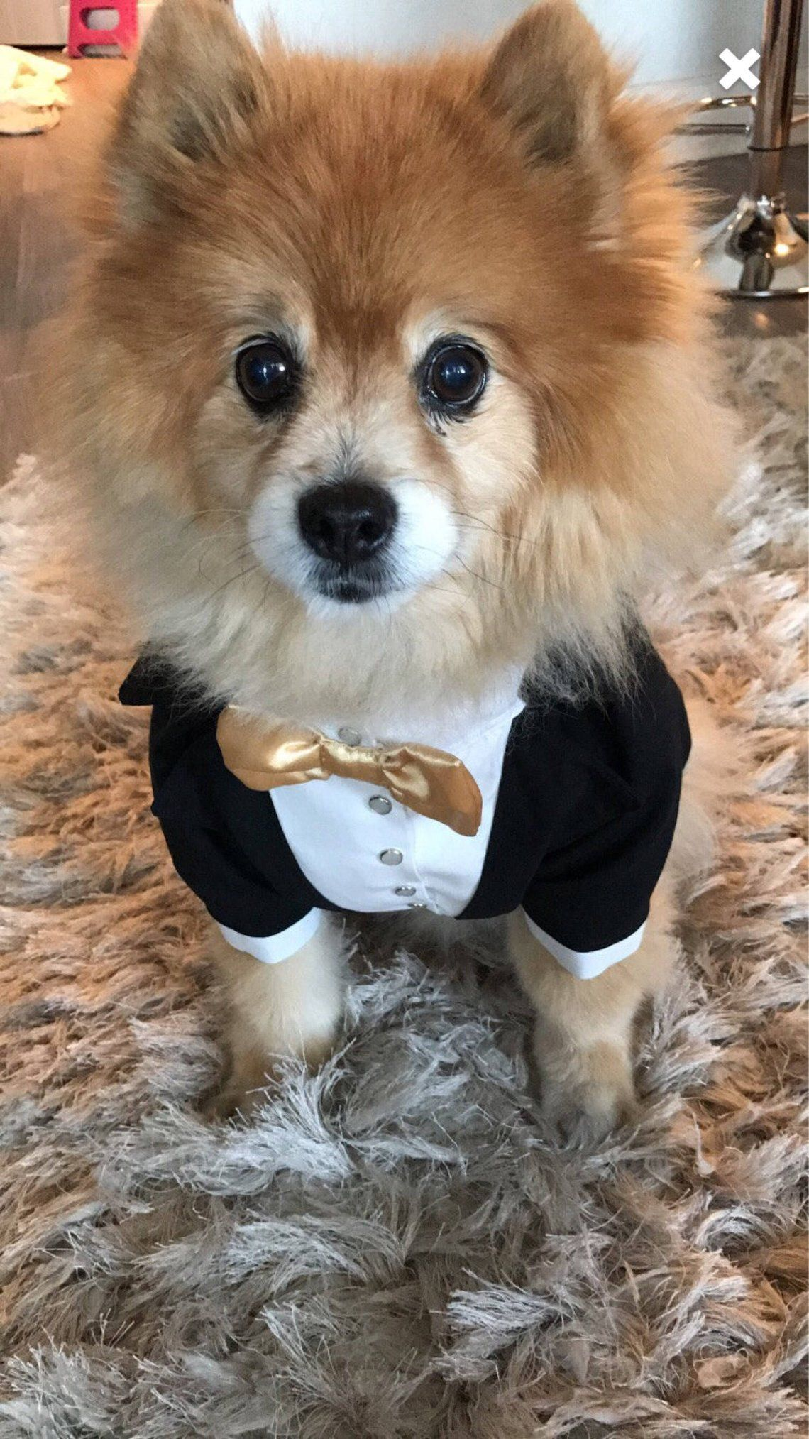 24++ Wedding bow tie for dogs ideas