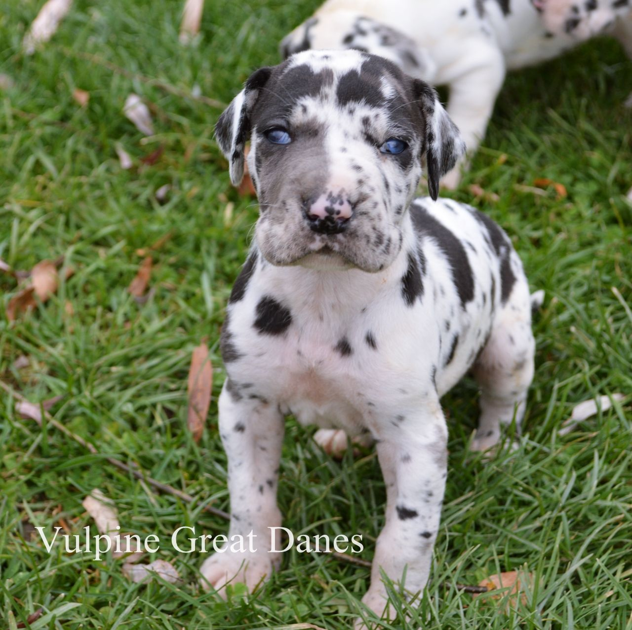 Harlequin Great Dane Puppy Harlequin Great Dane Puppy Great Dane Puppy Harlequin Great Danes