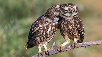 Bing fotos: Little owls roost in Extremadura, Spain (© Werner Bollmann/age fotostock)