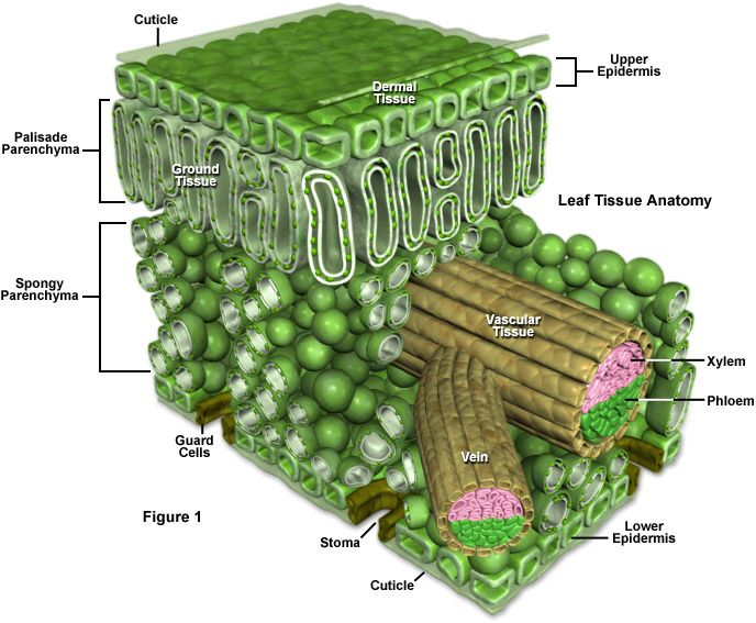 Essay on the Cell Wall | Plant Anatomy | Botany