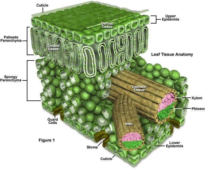 plant stem structure model - Google zoeken | Microscopy | Pinterest ...