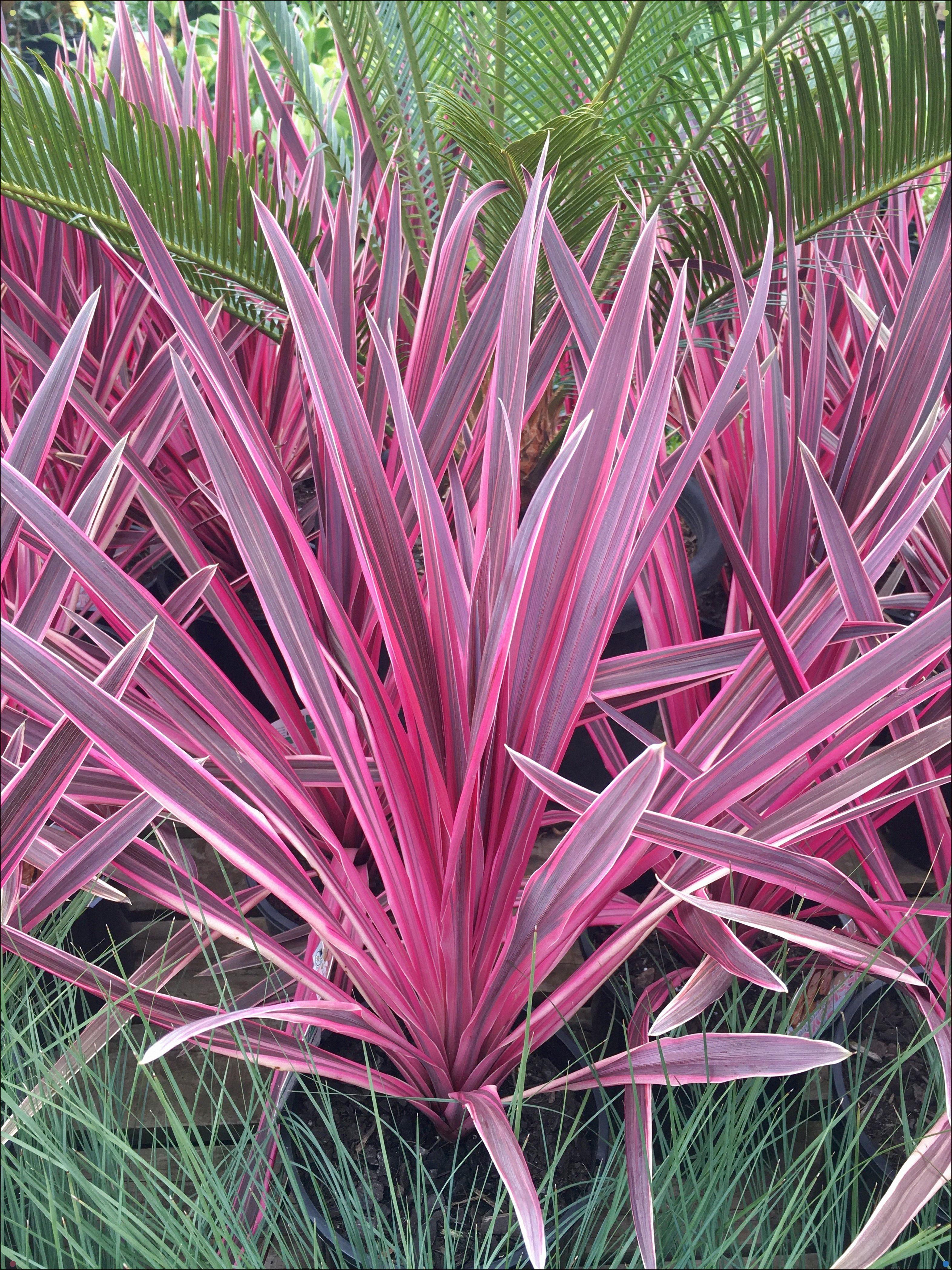 Cordyline Pink Passion Westlake Nursery Pink Garden Palm Garden Garden Shrubs