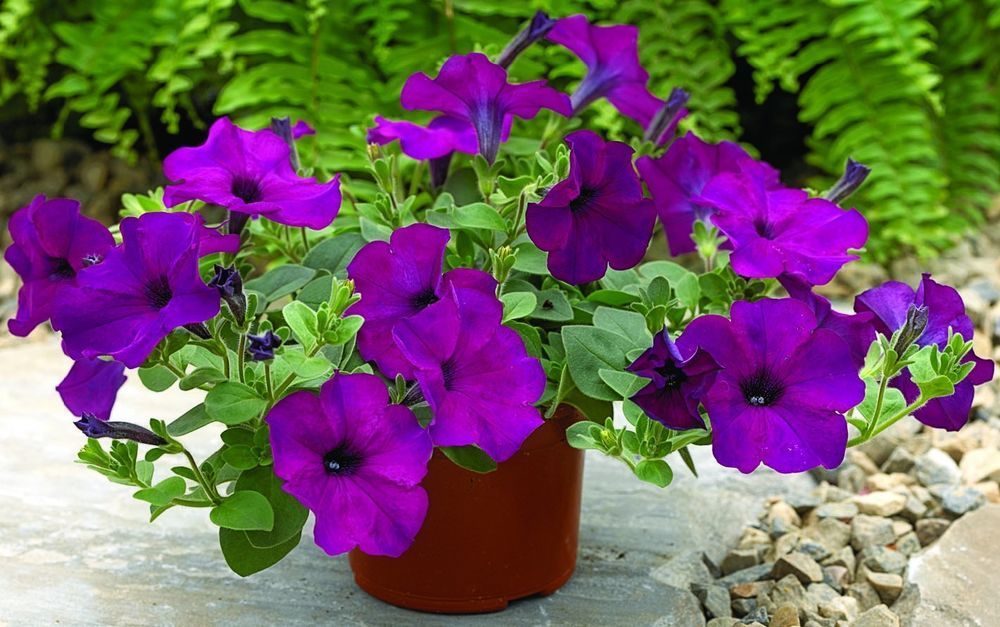 Image result for petunia planters