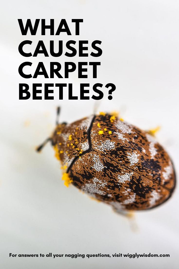 What Causes Carpet Beetles And How To Get Rid Of Them In 2020 Beetle Small Insects Pest Removal