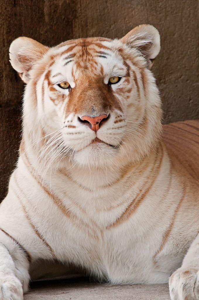 Memphis Vert Tiger 3-0 F LR 9-16-11 J146