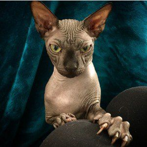 Up Close And Purrsonal With Omar Little The Sphynx Cat The Catnip Times Sphynx Cat Sphynx Feline