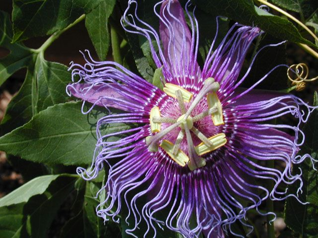 Passiflora Incarnata Purple Passionflower There Are About Six Native Passiflora Vines In The United States Colorado Gardening Passion Flower Garden Vines