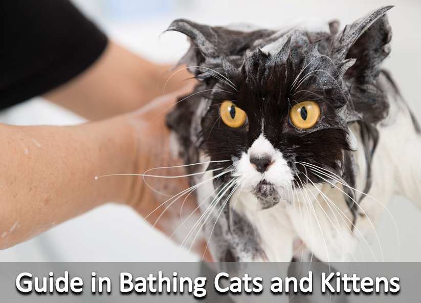 Guide In Bathing Cats And Kittens Cat Fleas Cats And Kittens Cat Care