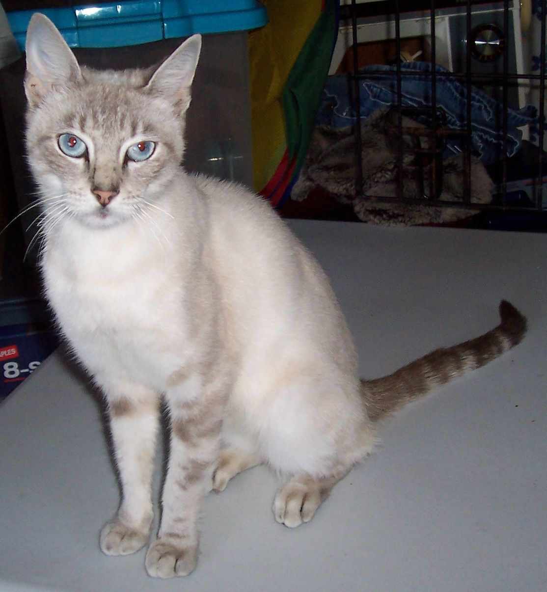 This Is Jade A Lovely And Sweet 7 8 Month Old Lynx Point Siamese I Saw Her On My Mountain Road In The Middle Of The Night Tiny Kitten Animals Animal Control