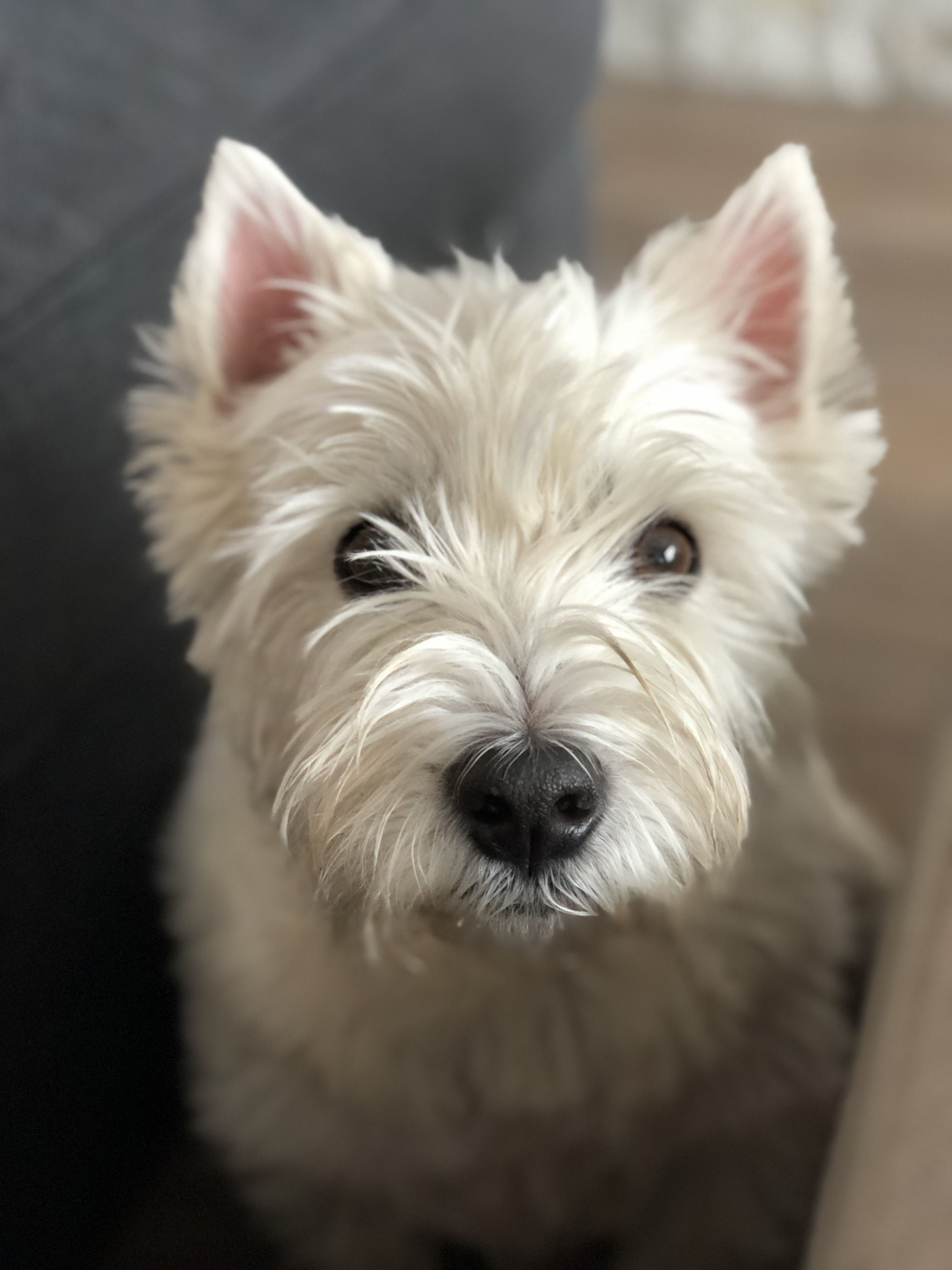 Pin By Debbie Simpson On Westies Westies West Highland White Terrier Fluffy Dogs