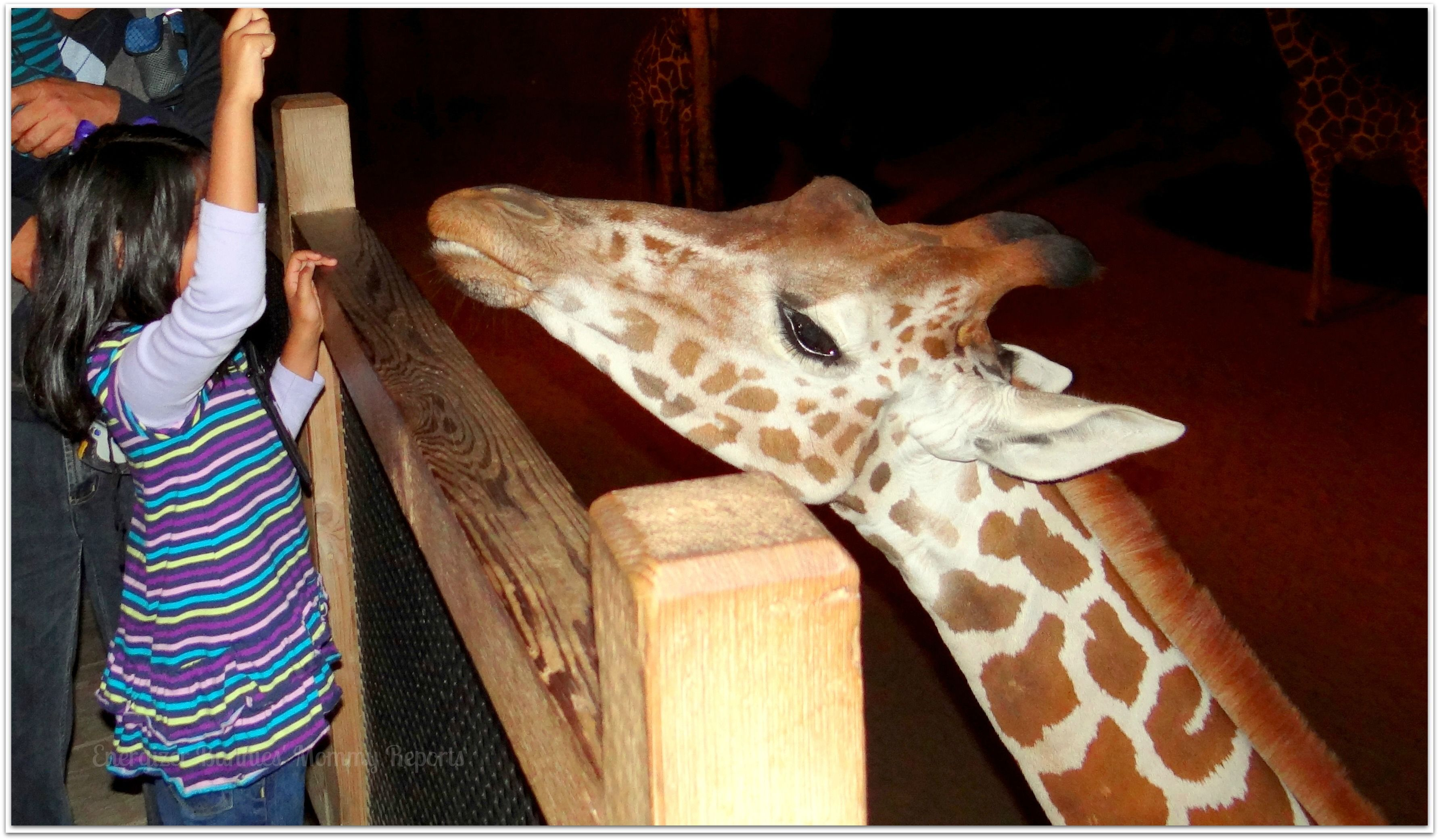 Giraffe Feeding Enclosure At The Dallas Zoo Dallas Zoo Giraffe Feeding Giraffe