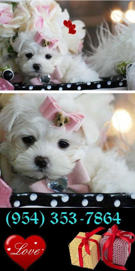 Its that time of the year! #puppy #forsale #sale #teacup