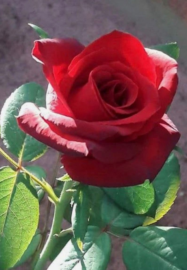 Beautiful Red Rose Beautiful Flowers Pinterest