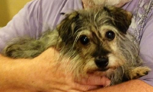 Petfinder  Adoptable | Dog | Cairn Terrier | Cary, NC | Abby