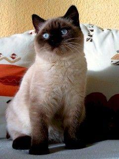 Nrkv Rasbeschrijving Brits Korthaar British Shorthair British Shorthair Cats Cats And Kittens
