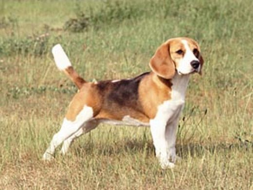 Miniature Beagles For Adoption