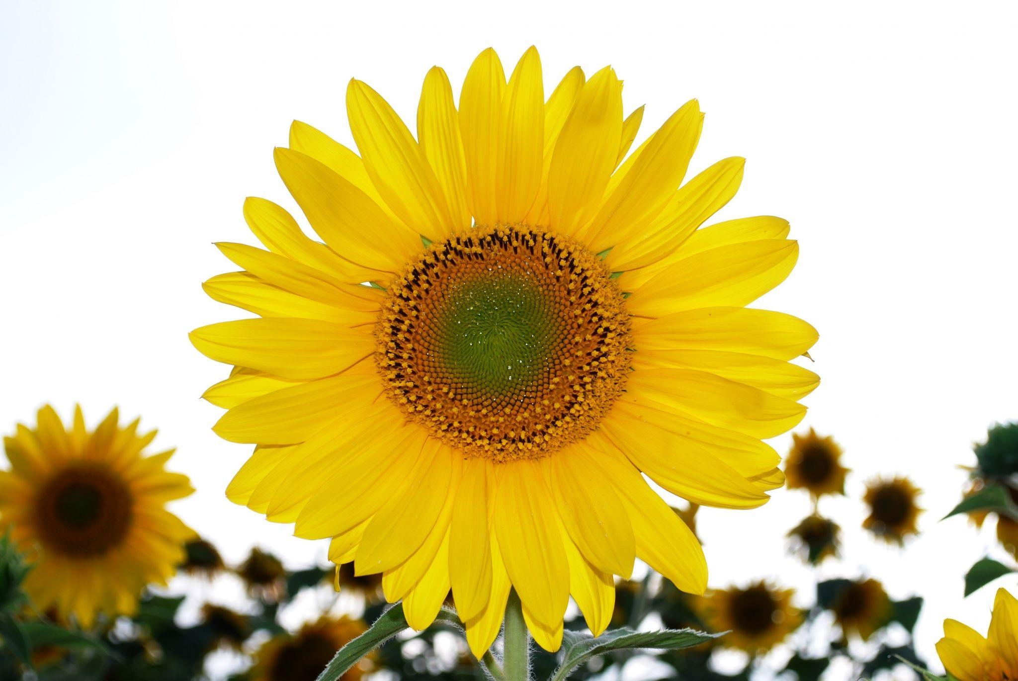 sunflower hd wallpapers 1080p windows Hd wallpapers