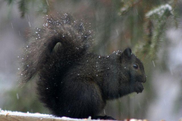 Black Squirrel Eating In The Snow Ardillas Y Islas