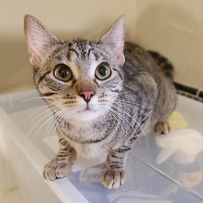 Houston, TX Domestic Shorthair. Meet Charlie a Pet for